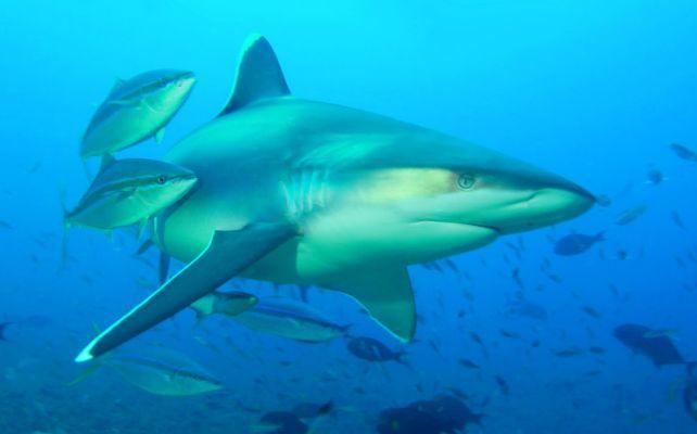 Silvertip+Sharks2.jpg.cf